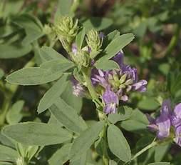 Hạt cỏ Bulldog Alfalfa chịu nóng