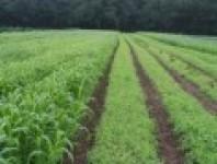 Hạt cỏ cao lương Haymaster