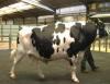 Kỹ thuật chọn con giống và chăm sóc bò sữa