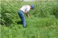 Hạt cỏ giống Bermuda